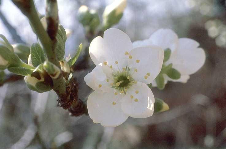 Plum – Prunus X  domestica or P. salicina