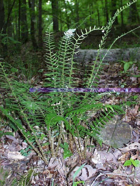 Christmas Fern – Polystichum acrostichoides