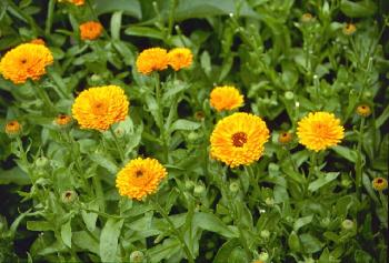 Pot Marigold – Calendula officinalis
