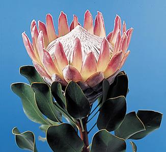 King Protea – Protea cynaroides