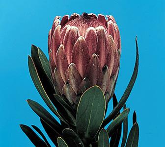Pink Ice – Protea susannae