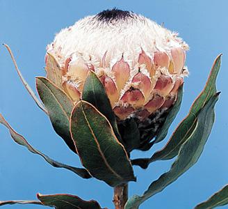 Queen Protea – Protea magnifica