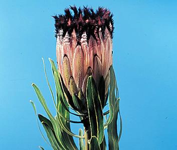 Pink Mink – Protea neriifolia