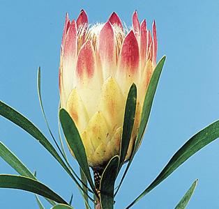 Sugarbush Protea – Protea repens