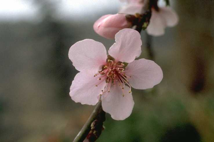 Peach – Prunus persica