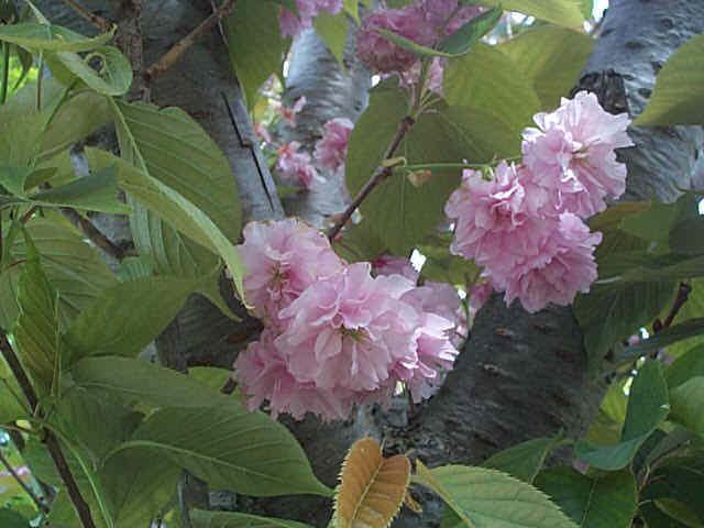Cherry – Prunus serrulata
