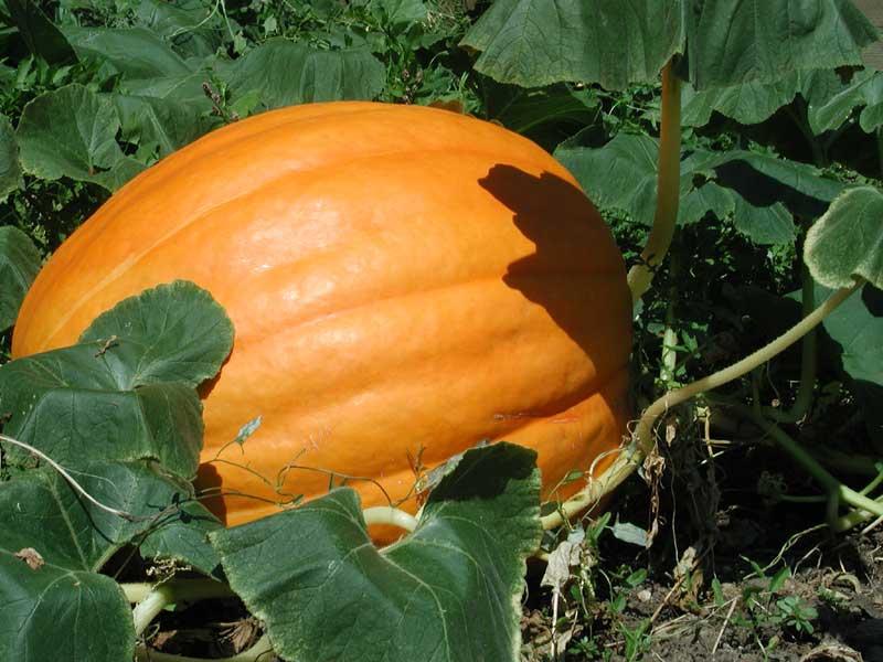 Pumpkin – Cucurbita maxima (C. pepo)