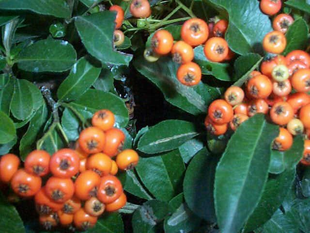 Firethorn – Pyracantha spp.