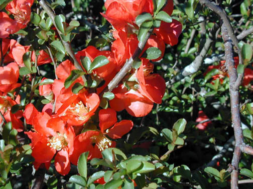 Quince – Chaenomeles japonica and C. speciosa