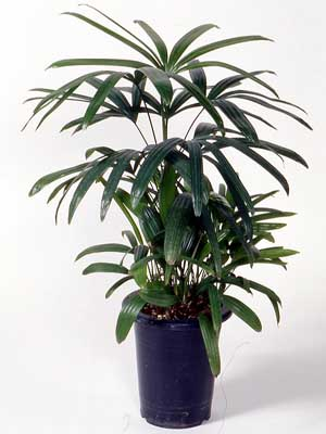 Lady Palm – Rhapis excelsa (R. humilis)
