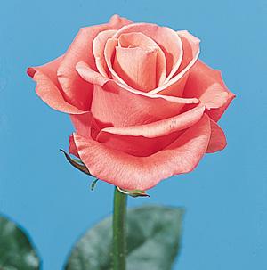 Rose – Rosa spp. and hybrids