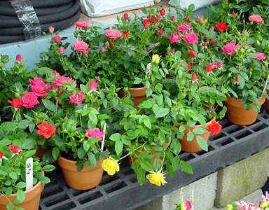 Potted Rose – Rosa spp. and hybrids