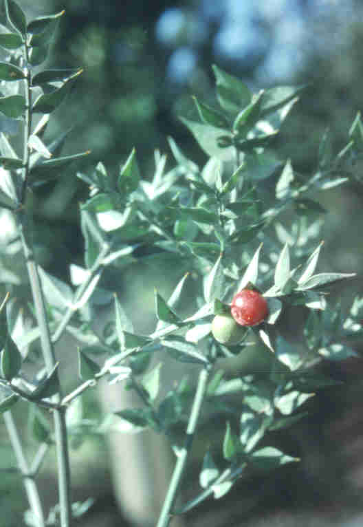Italian Ruscus – Ruscus aculeatus