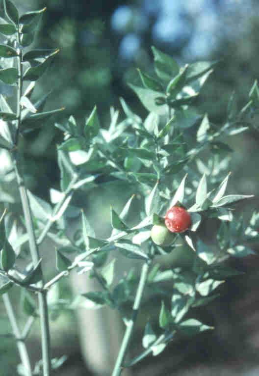 Italian Ruscus Evergreen Shrubs