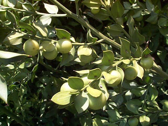 Holland Ruscus – Ruscus sp. (hypoglossum or hypophyllum)
