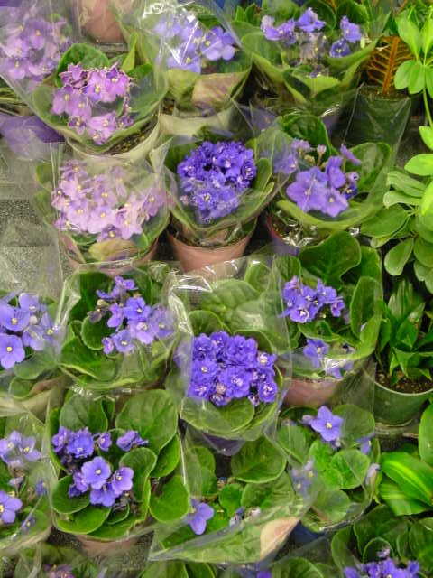 African Violet – Saintpaulia ionantha and S. spp.