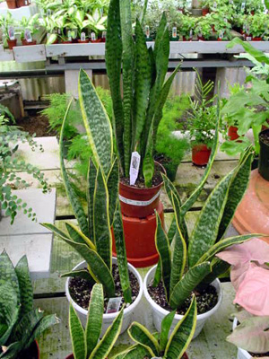 Snake Plant – Sansevieria trifasciata