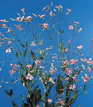 Soapwort – Saponaria officinalis, S. vaccaria (Vaccaria hispanica of V. pyramidata)