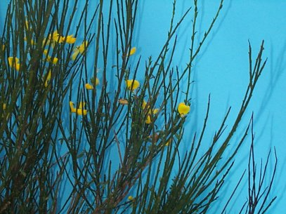Common Broom – Cytisus scoparius