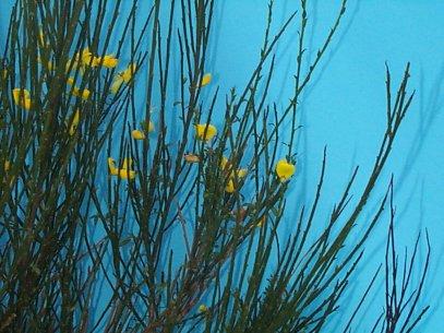 Common Broom – Cytisus scoparius