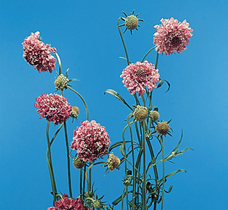 Pincushion flower – Scabiosa atropurpurea