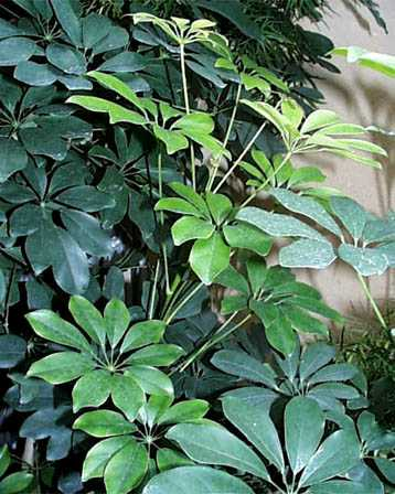 Dwarf Umbrella Tree – Schefflera arboricola or S. spp.