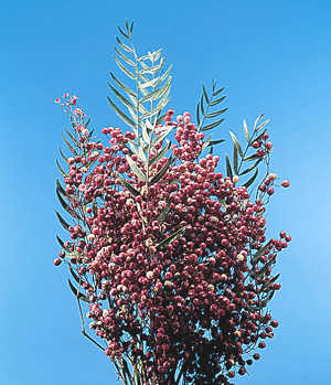 California Pepper-tree – Schinus molle