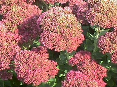 Stonecrop – Sedum spp.