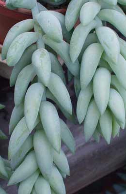 Burro's Tail – Sedum morganianum