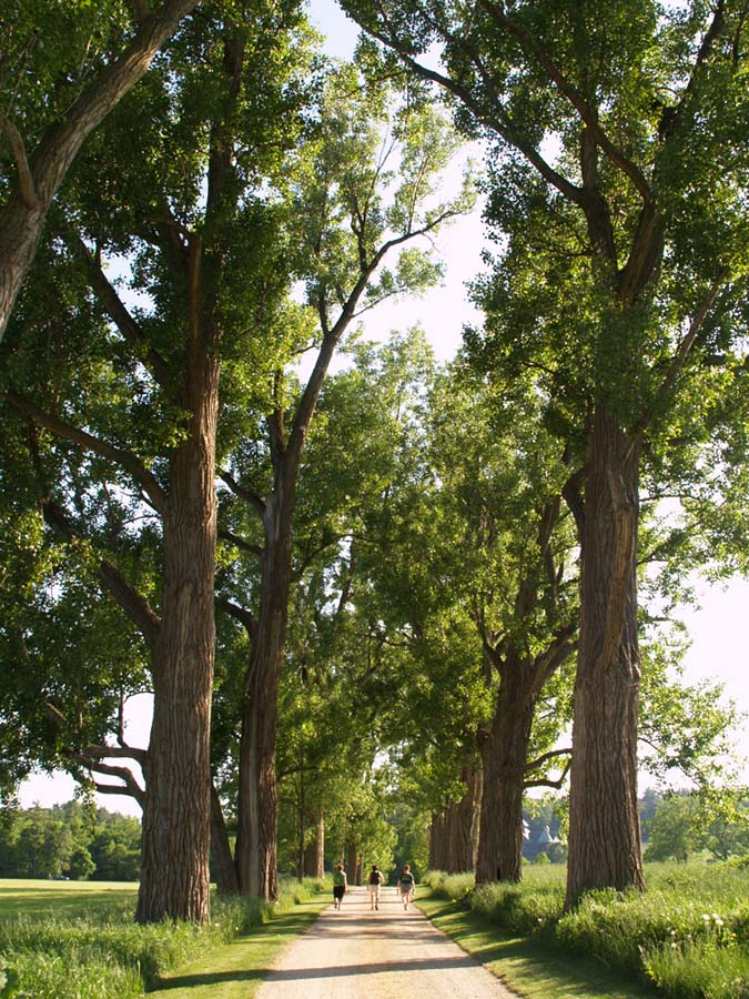 Majestic trees line the pathway at Shelburne Farms.