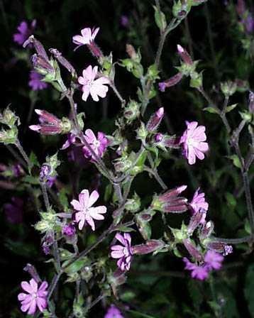 Catchfly – Silene spp.