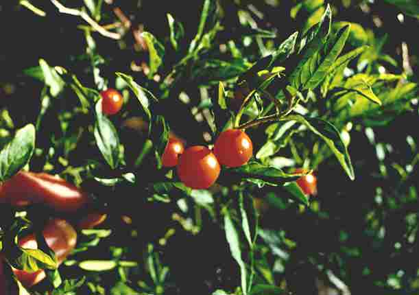 Jerusalem Cherry – Solanum pseudocapsicum