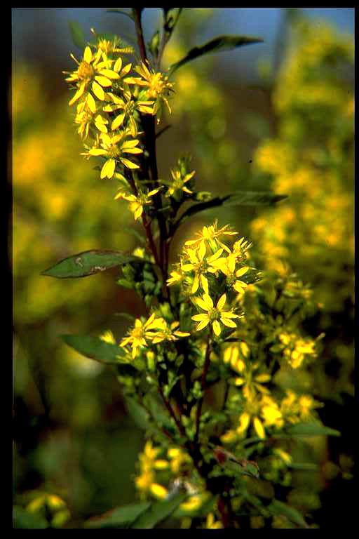 Goldenrod – Solidago spp.