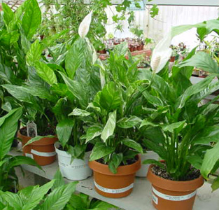 Peace Lily – Spathiphyllum spp.