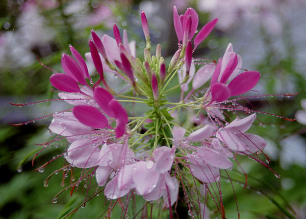 Cleome – Cleome hassleriana (C. spinosa)