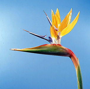 Bird of Paradise – Strelitzia reginae
