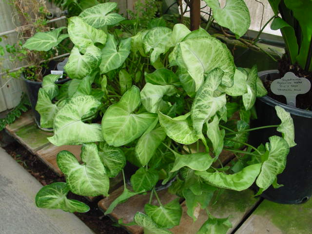 Arrowhead Vine – Syngonium podophyllum