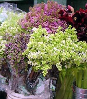 Lilac – Syringa vulgaris