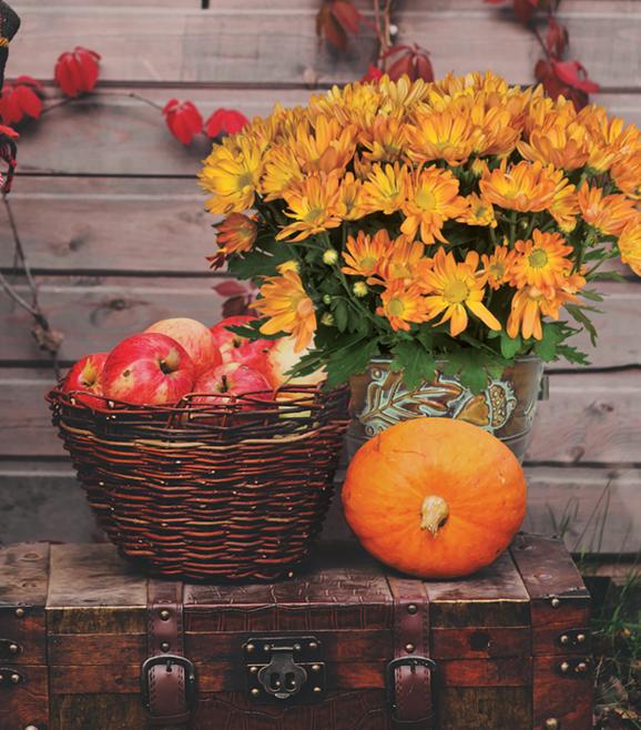 Tabletop Daisy Mum Plant
