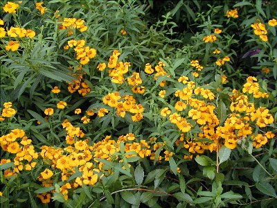Sweet-Scented Marigold – Tagetes lucida