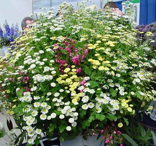 Feverfew – Tanacetum parthenium  (Chrysanthemum parthenium)