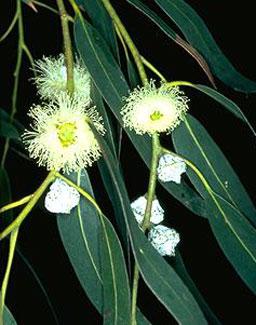Tasmanian Blue Gum – Eucalyptus globulus