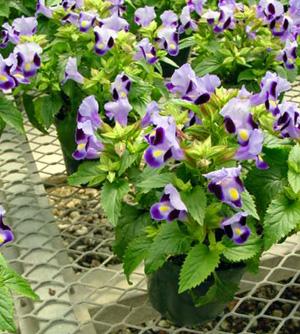 Wishbone Flower – Torenia spp.