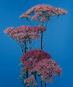 Throatwort – Trachelium caeruleum