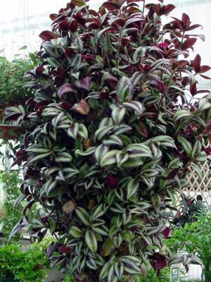 Spiderwort – Tradescantia zebrina (Zebrina pendula)