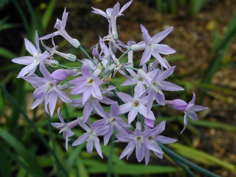 Society Garlic – Tulbaghia violacea, T. fragrans