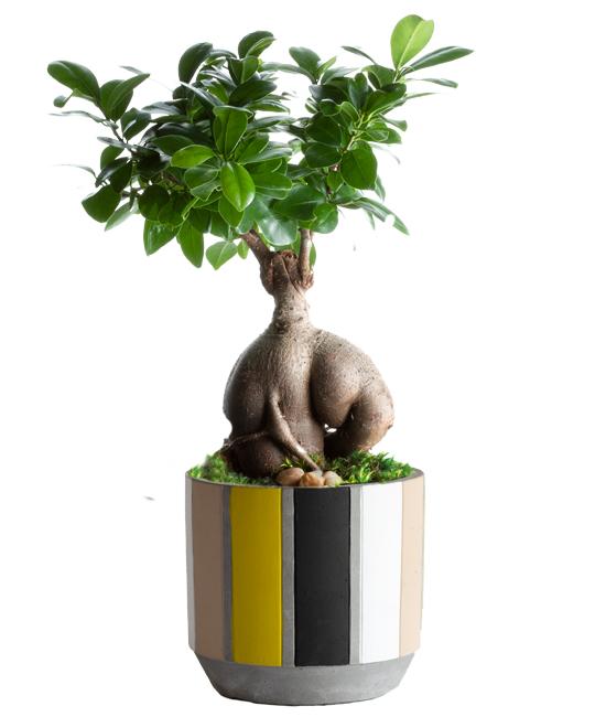 Aug - Urban Bonsai