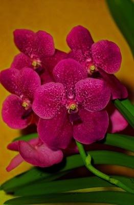 Vanda Orchid – Vanda spp.