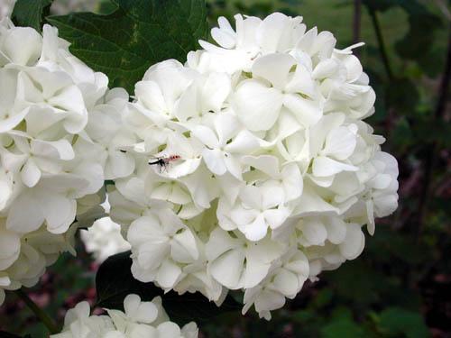 Guelder Rose – Viburnum opulus  or  V. spp.