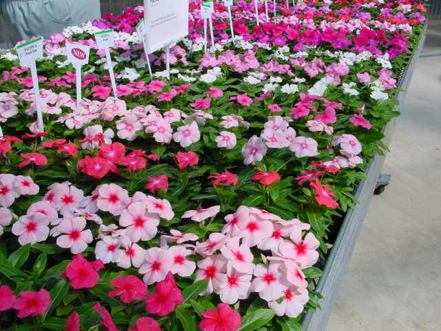 Vinca – Catharanthus roseus